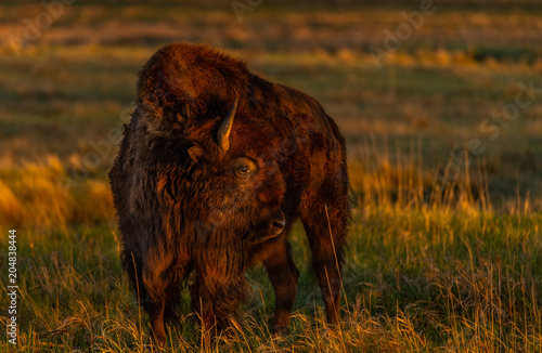 Fotobehang Bison Bison in the Morning Sunlight on the Colorado Plains