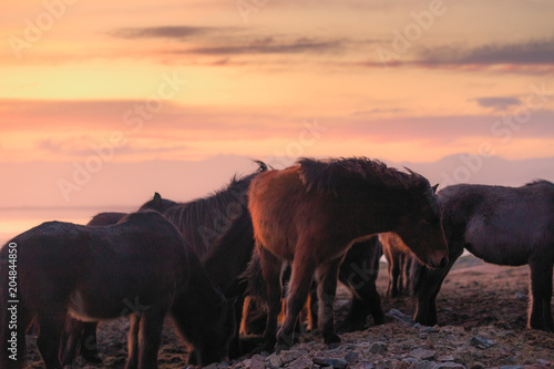 Group of Icelandic horse during sunset ocean in background Iceland.