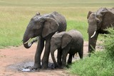 african elephant, young elephants playing in the dust after bathing in a small waterhole, Tanzania, Africa