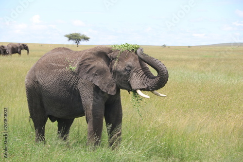 Fototapeta young African elephant bull eats and plays with leaves. Rain season, Serengeti, Tanzania
