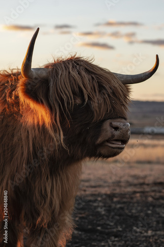 Plexiglas Chocoladebruin Highland cow on the farm during the day
