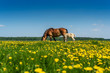 horse and foal graze on the field with dandelions - 204852677