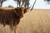 Highland cow on the farm during the day