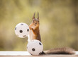 red squirrel is holding on to a football