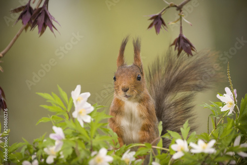 Foto Murales red squirrel standing behind wood anemone