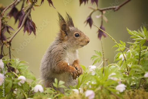 Foto Murales squirrel standing between wood anemone