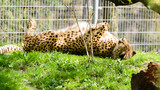 Cheetah (Acinonyx jubatus) basking in the morning on the grass. Rest after breakfast.