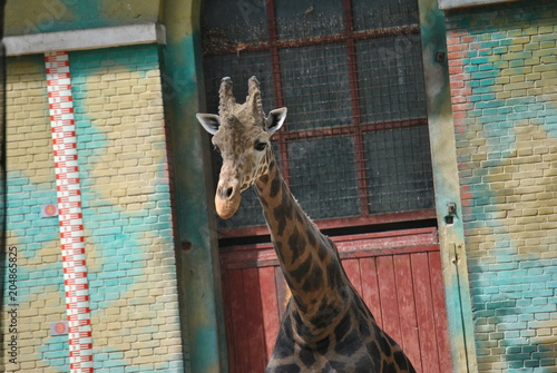 Fototapeta Giraffe at the Zoo