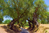 The olive grove. - 204870402