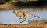 Cheetah running, (Acinonyx jubatus), South Africa - 204874090