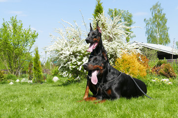 Couple of big black doberman dogs in the garden