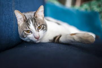 Chat tigré blanc couché