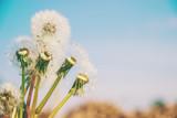 dandelions against the sky. Selective focus.