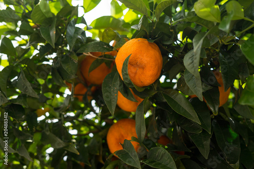 Clementines fruits and flowers during spring in Halkidiki, Greece