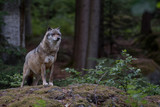 Wolf is standing on the rock