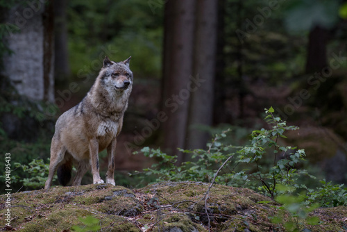 Plexiglas Wolf Wolf is standing on the rock