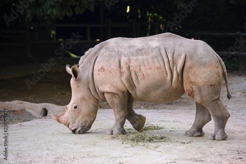 Fotobehang Neushoorn African white rhino showing off her beautiful horn