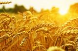 Wheat field on sun. - 204909292