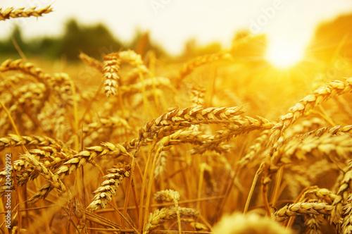 Leinwanddruck Bild Wheat field on sun.