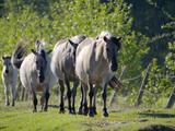 Półdzikie konie Tarpany nad rzeką Biebrzą