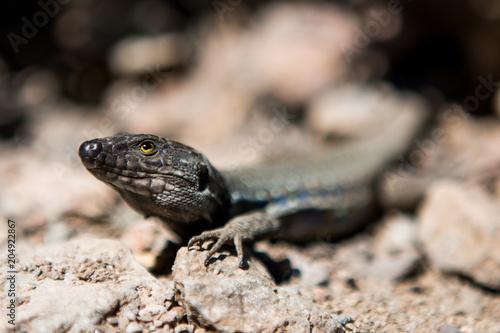 Fototapeta Lizard