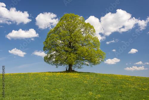 Perfekte Linde als Einzelbaum im Frühling - 204926428