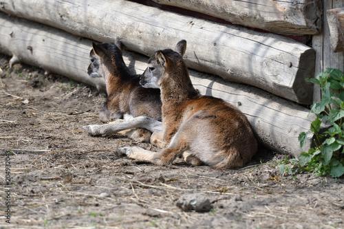 Aluminium Kangoeroe little Mouflon lamb sitting on the grass close-up