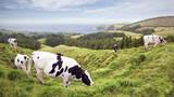 Kühe grasen an der Küste