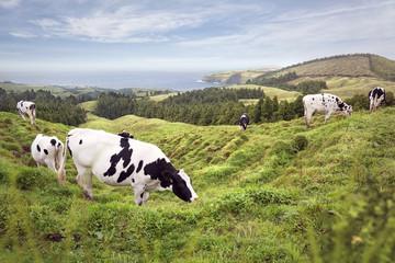 Kühe grasen auf einer Hügellandschaft am Meer
