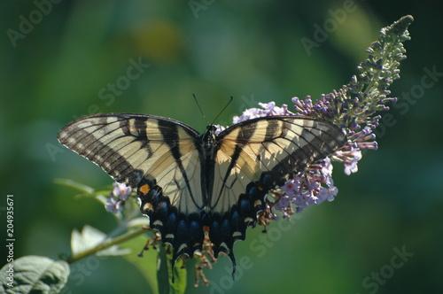 Plexiglas Vlinder Tiger Swallowtail