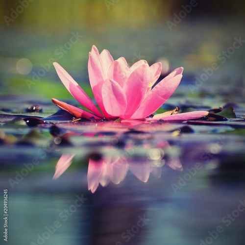 Fotobehang Zen Beautiful flowering pink water lily - lotus in a garden in a pond. Reflections on water surface.