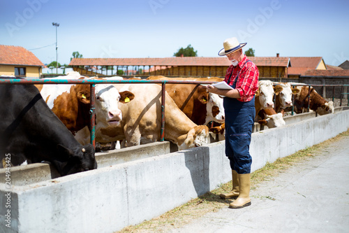 Farmer fooding and examining his herd