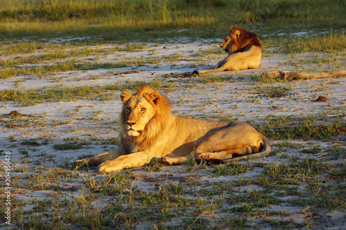Fotobehang Lion The Southern African lion (Panthera leo melanochaita) , two large males in the morning sun resting on the sand. Lion's male coalition in the delta.