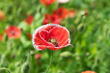 赤と白のポピーの花のアップ