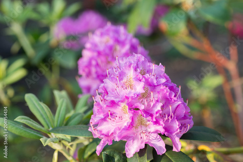 Aluminium Azalea lila rhododendron flower in bloom macro