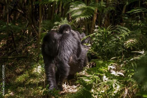 Plexiglas Bamboe Baby mountain gorilla