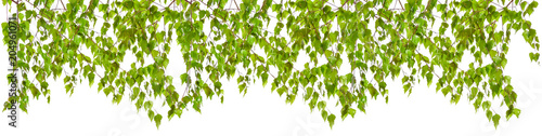 Decoration of birch twigs with leaves in a row on a white background. - 204961071