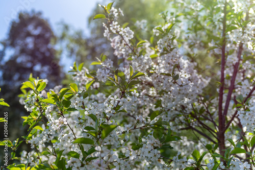 Fototapeta Flowering cherry tree.