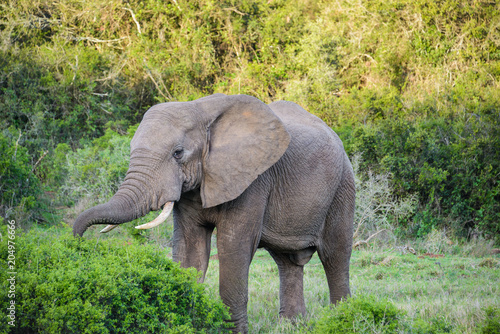 Fototapeta African Elephant in Addo Elephant National Park, South Africa