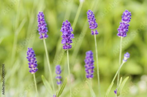 Aluminium Lavendel Lavender flower head close up. Bright green natural background.