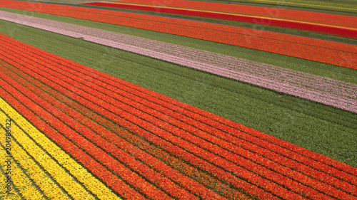 Fotobehang Rood traf. AERIAL: Flying above stunning colorful lush blooming tulips on big field