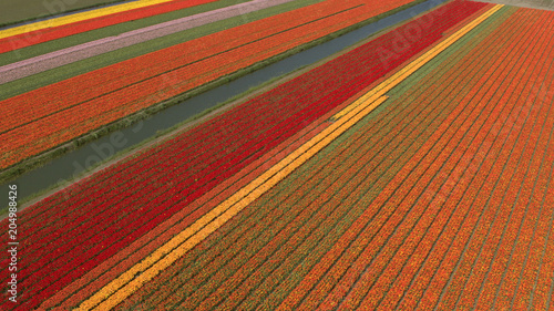 Plexiglas Rood traf. AERIAL: Colorful blooming tulips on vast agricultural field next to small river