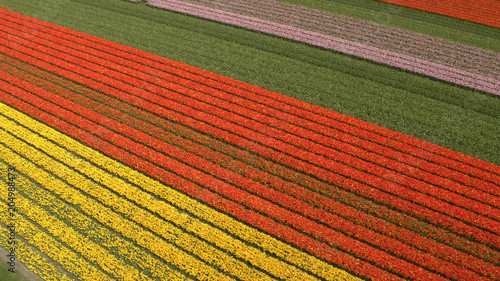 Plexiglas Baksteen AERIAL: Stunning red, pink and yellow rows of rich blooming tulips on big field