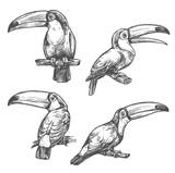Toucan tropical bird sketch, exotic animal design - 204996429