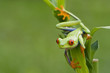 Red-eyed Tree Frog ready to hop