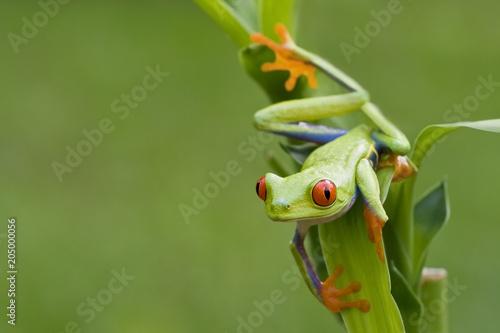 Plexiglas Kikker Red-eyed Tree Frog ready to hop