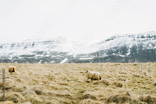 Fotobehang Wit Icelandic sheep in the pasture with snowy mountains in the background