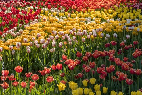 Plexiglas Tulpen Beautiful spring , multi-colored tulips planted.