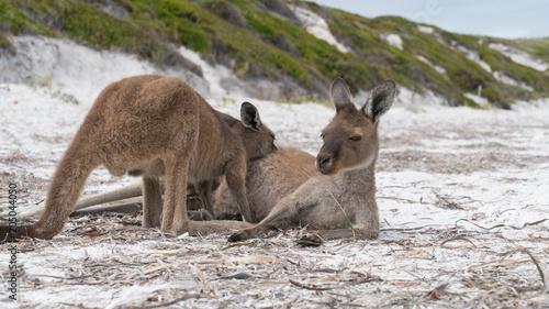 Aluminium Kangoeroe Kangaroos on the white beach of Lucky Bay, Cape Le Grand National Park, Western Australia