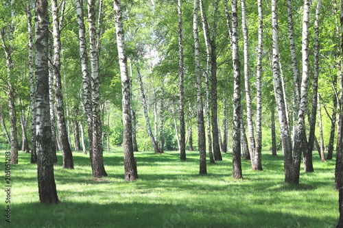 Beautiful birch trees with white birch bark in birch grove with green birch leaves in early summer - 205051283